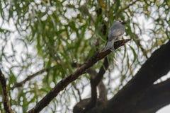 Τεφρώδες drongo στοκ εικόνες
