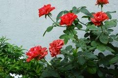 Τεχνητά τριαντάφυλλα στοκ φωτογραφίες με δικαίωμα ελεύθερης χρήσης