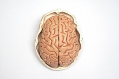 Τεχνητό ανθρώπινο πρότυπο εγκεφάλου και κρανίων Στοκ Εικόνες