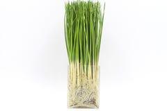 Τεχνητό ρύζι με τις ρίζες Στοκ φωτογραφίες με δικαίωμα ελεύθερης χρήσης