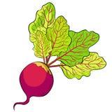 Τεύτλο με ένα τοπ πράσινο λαχανικό επίσης corel σύρετε το διάνυσμα απεικόνισης ελεύθερη απεικόνιση δικαιώματος