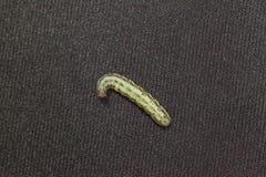 Τεύτλο armyworm στο μαύρο υπόβαθρο Στοκ φωτογραφίες με δικαίωμα ελεύθερης χρήσης