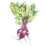 Τεύτλο, παντζάρια με τα φύλλα που απομονώνονται, συρμένο χέρι χρωματισμένο watercolor απεικόνισης απεικόνιση αποθεμάτων
