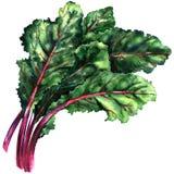 Τεύτλο, chard, φρέσκα πράσινα φύλλα του τεύτλου που απομονώνεται, απεικόνιση watercolor διανυσματική απεικόνιση