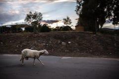Τελευταία πρόβατα Στοκ Φωτογραφίες
