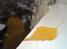 Τελευταίο κίτρινο πεσμένο φύλλο σημύδων Στοκ Εικόνες
