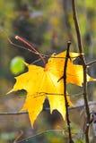 Τελευταίο κίτρινο πεσμένο φύλλο σφενδάμου στον κλαδίσκο Στοκ εικόνες με δικαίωμα ελεύθερης χρήσης