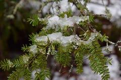Τελευταίο πρώιμο ελατήριο χιονιού και πάγου σε ένα δέντρο hemlock Στοκ εικόνα με δικαίωμα ελεύθερης χρήσης