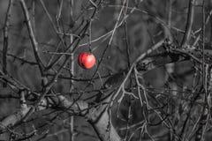 Τελευταίο σάπιο μήλο Στοκ εικόνα με δικαίωμα ελεύθερης χρήσης