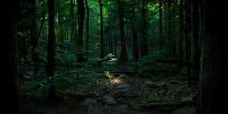 Τελευταίο φως της ημέρας που λάμπει στο νέο δέντρο στο δάσος Στοκ Εικόνες