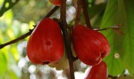 Τζαμαϊκανό μήλο Στοκ εικόνες με δικαίωμα ελεύθερης χρήσης