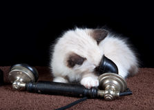 τηλέφωνο γατακιών Στοκ Φωτογραφίες