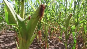 Τηλεοπτικό αγρόκτημα κινήσεων καλαμποκιού τομέων καλαμποκιού steadicam που καλλιεργεί πράσινη γεωργία Ηνωμένες Πολιτείες χλόης το Στοκ Φωτογραφία