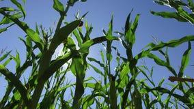 Τηλεοπτικό αγρόκτημα κινήσεων καλαμποκιού τομέων καλαμποκιού steadicam που καλλιεργεί πράσινη γεωργία Ηνωμένες Πολιτείες χλόης το Στοκ φωτογραφία με δικαίωμα ελεύθερης χρήσης