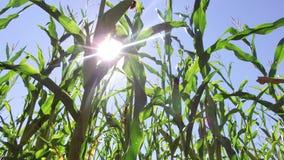 Τηλεοπτικό αγρόκτημα κινήσεων καλαμποκιού τομέων καλαμποκιού steadicam που καλλιεργεί πράσινη γεωργία Ηνωμένες Πολιτείες χλόης το Στοκ Εικόνα
