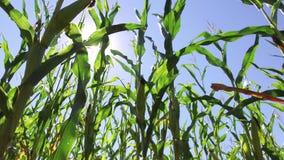 Τηλεοπτικό αγρόκτημα κινήσεων καλαμποκιού τομέων καλαμποκιού steadicam που καλλιεργεί πράσινη γεωργία Ηνωμένες Πολιτείες χλόης το Στοκ Φωτογραφίες