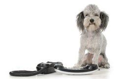τηλεφωνικό poodle Στοκ Φωτογραφίες