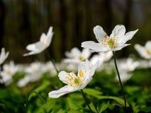 Την άνοιξη δασικά, ανθίζοντας δάση των nemoras anemone Στοκ εικόνες με δικαίωμα ελεύθερης χρήσης