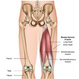Την τρισδιάστατη ιατρική απεικόνιση ανατομίας μυών στο άσπρο υπόβαθρο απεικόνιση αποθεμάτων