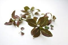 Της άκρης των φύλλων μοσχεύματα Fittonia και φύλλα φυτών woodii ceropegia στοκ εικόνα