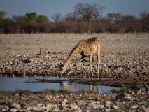 Της Αγκόλα giraffe κατανάλωση στο waterhole στοκ εικόνες