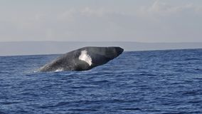 της Αλάσκας φάλαινα sw παραβιάσεων frederick humpback υγιής Πολύ σπάνιος