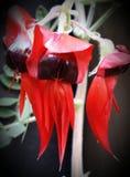 της Αυστραλίας κεντρικό ερήμων έδαφος μπιζελιών λουλουδιών εγγενές βόρειο sturt Στοκ Εικόνες