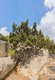 Της Κριμαίας πεύκο, ή πεύκο του Παλλάς lat Subsp μέλαινας πεύκης ανάπτυξη pallasiana στους βράχους Στοκ φωτογραφία με δικαίωμα ελεύθερης χρήσης