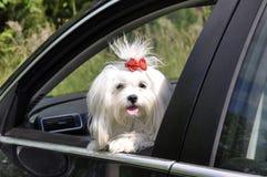 Της Μάλτα σκυλί στο αυτοκίνητο που φαίνεται έξω το παράθυρο στοκ φωτογραφίες