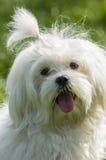 Της Μάλτα σκυλί Στοκ Εικόνες