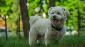 Της Μάλτα σκυλί στοκ φωτογραφίες
