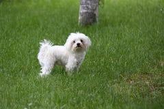 Της Μάλτα σκυλί στοκ φωτογραφία με δικαίωμα ελεύθερης χρήσης