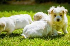 Της Μάλτα χνουδωτό σκυλί μωρών Στοκ εικόνα με δικαίωμα ελεύθερης χρήσης