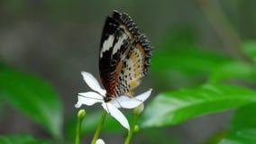 Της Μαλαισίας, Cethosia cyane, οικογένεια Nymphalidae