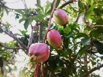 Της Μαλαισίας αυξήθηκε μήλο, αυξήθηκε μήλο, ή Syzygium malaccense Στοκ Φωτογραφίες