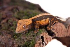 Της Νέας Καληδονίας λοφιοφόρο gecko στο λευκό Στοκ εικόνες με δικαίωμα ελεύθερης χρήσης