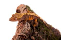 Της Νέας Καληδονίας λοφιοφόρο gecko στο λευκό Στοκ εικόνα με δικαίωμα ελεύθερης χρήσης