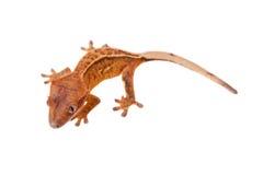 Της Νέας Καληδονίας λοφιοφόρο gecko στο λευκό Στοκ φωτογραφία με δικαίωμα ελεύθερης χρήσης