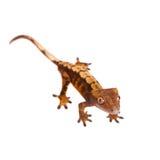 Της Νέας Καληδονίας λοφιοφόρο gecko στο λευκό Στοκ Εικόνα