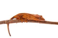 Της Νέας Καληδονίας λοφιοφόρο gecko στο λευκό Στοκ Εικόνες