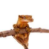 Της Νέας Καληδονίας λοφιοφόρο gecko στο λευκό Στοκ Φωτογραφία