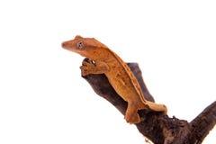 Της Νέας Καληδονίας λοφιοφόρο gecko στο λευκό Στοκ Φωτογραφίες