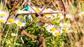 Της Νίκαιας πεταλούδα που σκαρφαλώνει πορτοκαλιά ox-eye στο λουλούδι μαργαριτών Στοκ Εικόνες