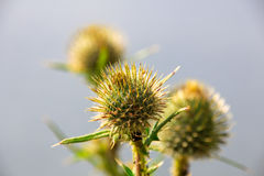 Της Παρθένου Μαρίας λουλούδι κάρδων (marianum Silybum) Στοκ Φωτογραφίες