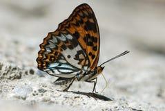 Της Ταϊβάν ενδημική αναρρόφηση εδαφολογικού νερού πεταλούδων φυσική Στοκ Φωτογραφία