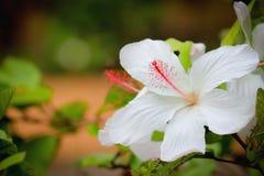 Της Χαβάης άσπρο hibiscus λουλούδι Στοκ φωτογραφία με δικαίωμα ελεύθερης χρήσης