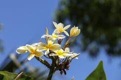 Της Χαβάης κίτρινο υβρίδιο plumeria, frangipani Στοκ εικόνες με δικαίωμα ελεύθερης χρήσης