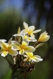 Της Χαβάης κίτρινο υβρίδιο plumeria, frangipani Στοκ Φωτογραφία