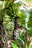 Της Χαβάης μπανάνες Στοκ Εικόνες