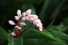 Της Χαβάης λουλούδι πιπεροριζών κοχυλιών Στοκ φωτογραφίες με δικαίωμα ελεύθερης χρήσης